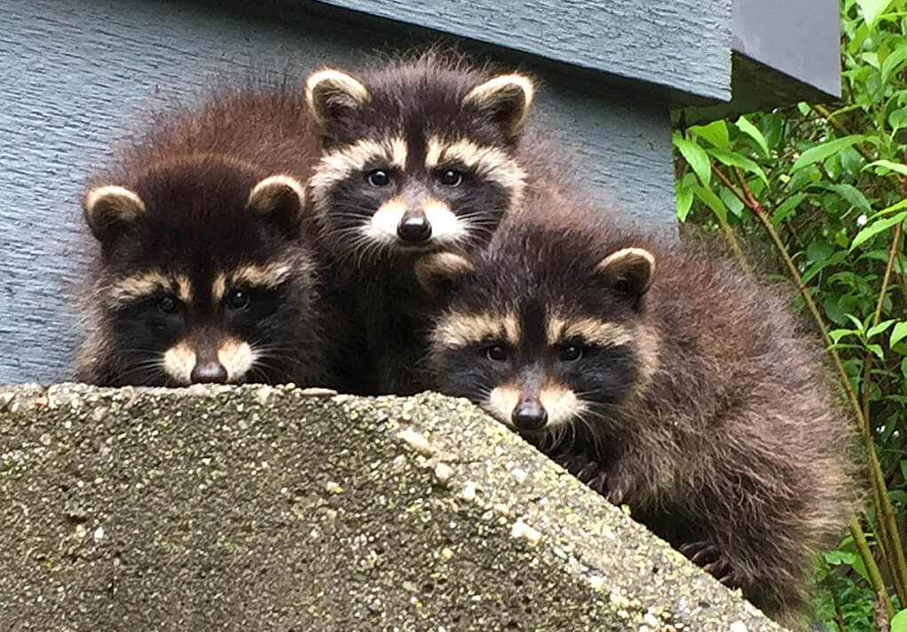 3 Baby Racoons