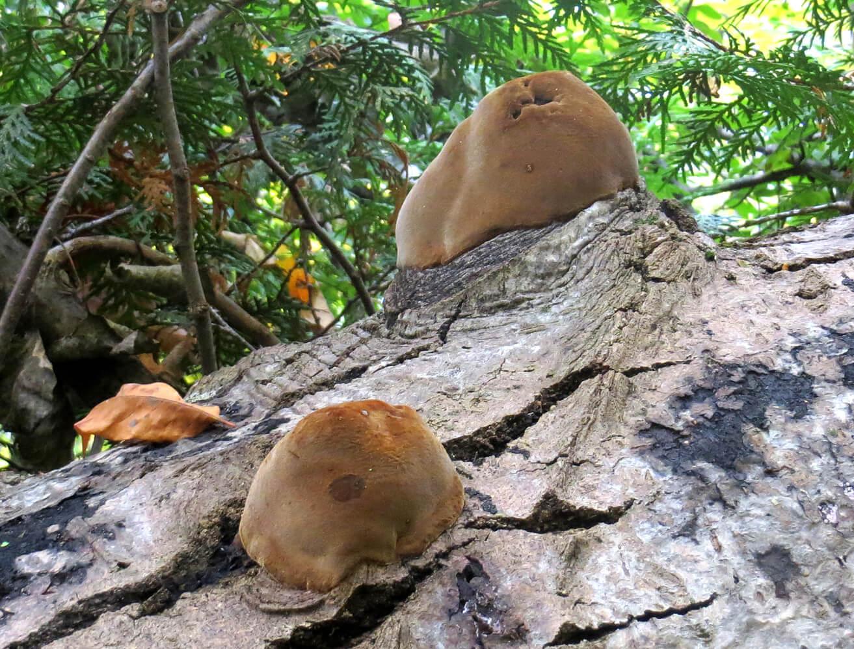 Furry Fungus