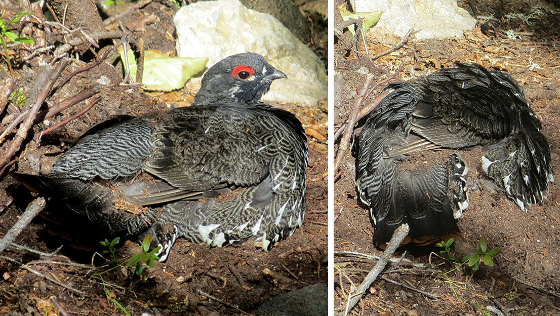 Quebec Spruce Grouse Dirt Bath